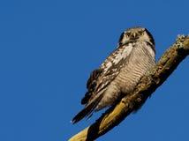 Hawk Owl Immagine Stock Libera da Diritti