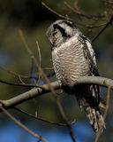 Hawk Owl Immagini Stock