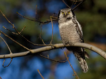 Hawk Owl Fotografie Stock Libere da Diritti