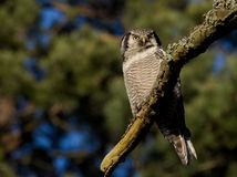 Hawk Owl Fotografia Stock