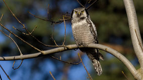 Hawk Owl Immagine Stock