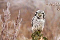 Hawk owl Stock Photo