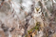 Hawk owl through branches Stock Images