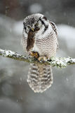 Hawk Owl with catch Stock Photos