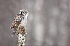 Hawk Owl, der auf der Niederlassung während des Winters mit Schneeflocke sitzt Winterszene mit Vogel Schneefall mit Eule Wintersz Lizenzfreie Stockfotografie