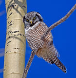 Hawk Owl do norte Fotos de Stock Royalty Free