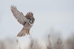 Hawk Owl Hover Royalty-vrije Stock Foto's