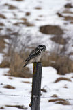 Hawk Owl hunting Stock Images