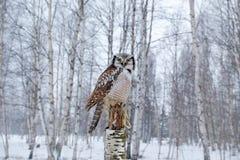 Hawk Owl im Naturwaldlebensraum während des kalten Winters Szene der wild lebenden Tiere von der Natur Suppengrünwald mit Vogel E lizenzfreie stockfotografie