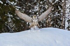 Hawk Owl im Winter Lizenzfreie Stockfotos