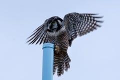 Hawk Owl Landing nordico Fotografie Stock Libere da Diritti
