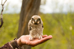 Hawk owl in a mountain forest Stock Image