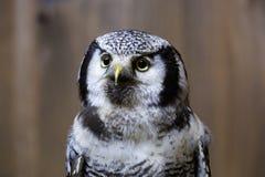 Hawk Owl nordico Fotografia Stock Libera da Diritti