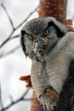 Hawk Owl nordico (ulula) di Surnia, Kamchatka, immagini stock