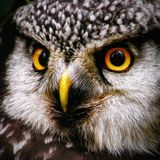 Hawk-owl portrait Royalty Free Stock Photography
