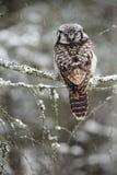 Hawk Owl sammanträde Royaltyfri Foto