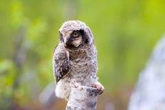 Hawk owl in Scandinavian taiga Stock Image