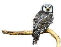 Hawk Owl septentrional Fotos de archivo libres de regalías