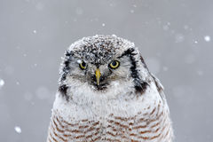 Hawk Owl sitting on the branch during winter with snow flake, portrait of winter bird, Sweden Royalty Free Stock Images