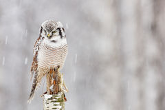 Hawk Owl sitting on the branch during winter with snow flake. Winter scene with bird. Snow fall with owl. Wildlife winter scene fr Royalty Free Stock Photography