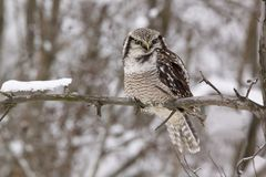 Hawk owl /Surnia ulula/ Royalty Free Stock Photography