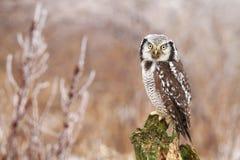 Hawk owl Surnia ulula Royalty Free Stock Image