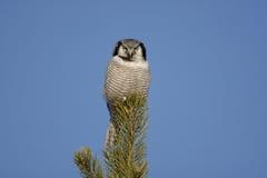 Hawk owl, Surnia ulula Royalty Free Stock Photography