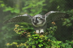 Hawk owl Stock Photo