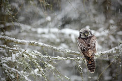 Hawk Owl-zitting Stock Afbeelding