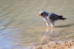 Hawk, Pale Chanting - Wild Birds from Africa - Call of the wild Royalty Free Stock Image