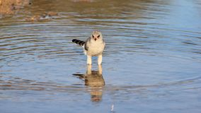 Hawk, Pale Chanting - Wild Birds from Africa - Perfect Blue Water Stock Image