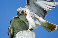 Hawk Peering Rojo-atado en la presa fotos de archivo