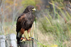 Hawk Perch Royalty Free Stock Photography
