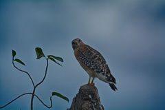 Hawk Perched épaulé rouge Photographie stock