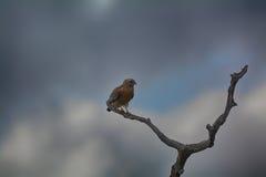 Hawk Perched épaulé rouge Image libre de droits