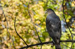 Hawk Perched do tanoeiro em Autumn Tree foto de stock royalty free