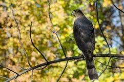 Hawk Perched du tonnelier dans Autumn Tree images libres de droits