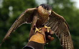 Hawk perched on hand Royalty Free Stock Images