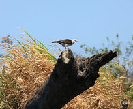 Hawk perched on a log Royalty Free Stock Photography