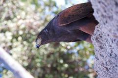 Hawk Perched para el vuelo Foto de archivo