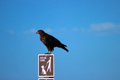 Hawk. Perched on a pets on leash sign on a clear day Stock Photography