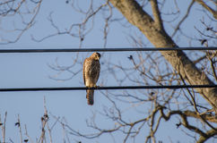 Hawk perched Royalty Free Stock Photo