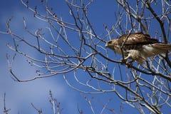 Hawk Perched Rouge-coupé la queue dans les arbres photos libres de droits