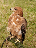 Hawk perched on stand Stock Image