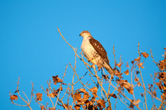 Hawk perched in tree Stock Photo
