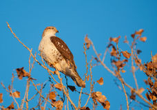 Hawk perched in tree Stock Photography