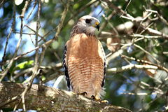 Hawk perched in a tree Stock Photography