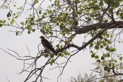 Hawk perched in tree Stock Image