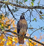 Hawk Perched in a tree with autumn colors. Royalty Free Stock Images