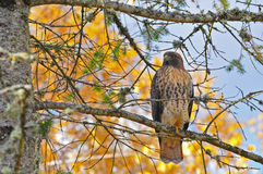 Hawk Perched in a tree with autumn colors. Stock Photos